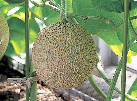 Melon growing on vine
